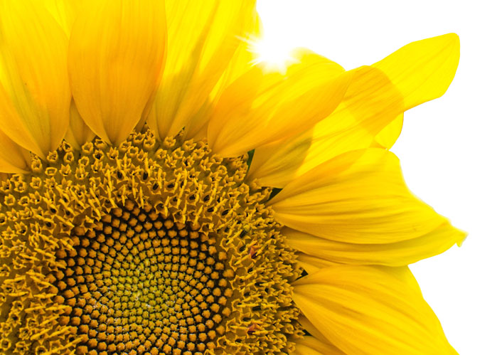 An image of a sunflower that illustrates the integrity with which ASR Law Firm conducts their legal process as a South Florida Lawyer.