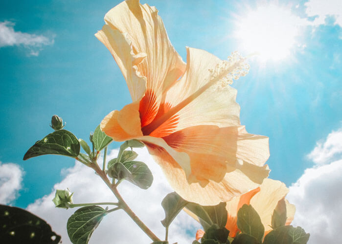An image of a hibiscus that represents the professional title services from ASR Law Firm.